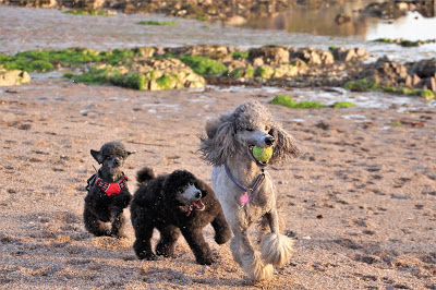 Photo of poodles