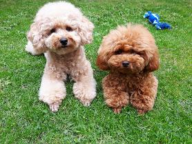 Photo of toy poodles Tanzi and Shayna